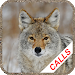 Coyote hunting calls: coyote, fox, wolf sounds